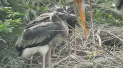 Painted storks feeding fish Stock Footage