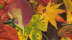 Colorful autumn leaves composition panning and scanning Stock Footage