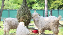 Group of young sheep eating hay on a barn Stock Footage