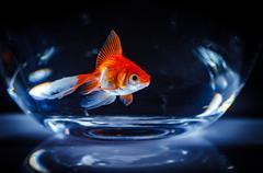 Goldfish floats in an aquarium on a dark background Kuvituskuvat