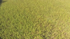 Aerial view of marijuana field drone landing on plants Stock Footage