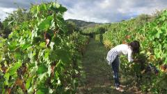Female model harvesting grapes in vineyard, 4k Steadicam shot Stock Footage