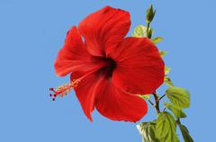 Stock Photo of Red hibiscus blossoms on a blue background