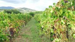 Steadicam shot walk along rows of vines on a vineyard in France Stock Footage