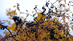 Blackthorn shrub in autumn and blue sky Stock Footage