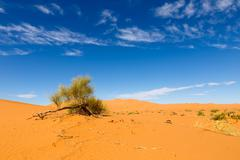 green shrub in the Sahara - stock photo