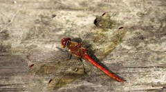 Male Common Darter Stock Footage