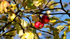 Two small apples on the tree in orchad Stock Footage