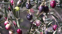 Olive branch full of olives Stock Footage