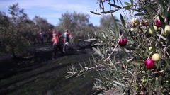 Men working in an olive grove to pick olives Stock Footage