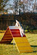 Husky in Dog agility, dog sport - stock photo