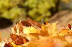 Golden maple autumn leaves Kuvituskuvat