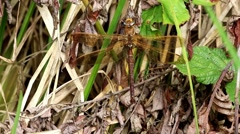 Brown Hawker Dragonfly Stock Footage