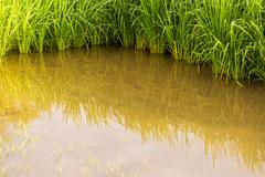 Stock Photo of rice plantation mud water surface copyspace
