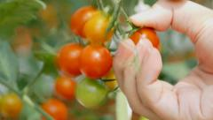 Hand picking tomatoes Stock Footage