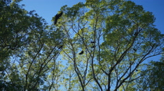 CROWS CONGREGATE ATOP A TALL TREE SWAYING IN THE WIND - stock footage