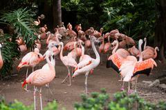 Group of pink flamingos in its natural environment Stock Photos