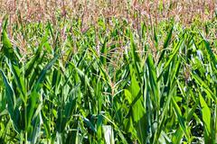Field of ripe corn Kuvituskuvat