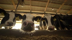 Curious cows sniffing the camera 4K Stock Footage