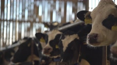 Cows in the barn eating, looking around4K Stock Footage