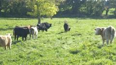 Cows grazing on pasture green field freerange farming agriculture free range 4k Stock Footage