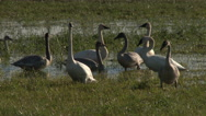 Stock Video Footage of Swans, Trumpeter Swans, Birds