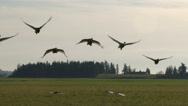 Stock Video Footage of Swans, Trumpeter Swans, Birds, Fly, Flying, Flight
