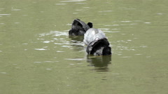 Stock Video Footage of Coot Courtship