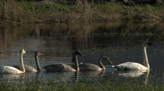 Swans, Trumpeter Swans, Birds, Swim Stock Footage