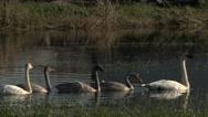 Stock Video Footage of Swans, Trumpeter Swans, Birds, Swim