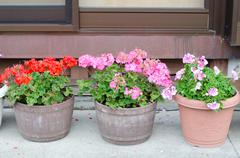 Stock Photo of Pink geraniums blooming