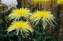 Japanese chrysanthemums flower at the Naritasan Shin shoji temple in Nari - stock photo
