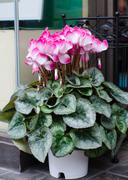 Cyclamen hederifolium blooming in pot, Japan Stock Photos
