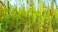 Walking through a hemp  cannabis marijuana field steadycam.mp4 Stock Footage