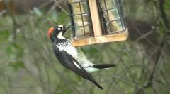 Acorn Woodpecker (Melanerpes formicivorus) - stock footage