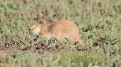 Black-tailed Prairie Dog (Cynomys ludovicianus) Stock Footage