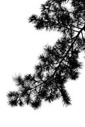 Stock Photo of Silhouette of pine tree branch