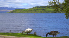 Ducks wander on the shore of Loch Lomand, Scotland. Stock Footage