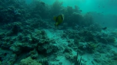 Green giant triggerfish in slow motion Stock Footage