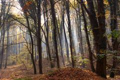 Sunbeams through Autumn Forest with Leafs Changing Color Stock Photos