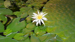 European white waterlily Stock Footage