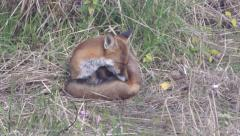 A red fox is curled up in the grass and puts its paw over its tail – 4K Stock Footage