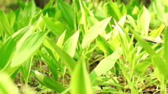 Flowers of Lily of the Valley Stock Footage