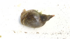 The great pond snail, crawling under water. To snail Stock Footage