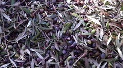 Woman separating olives from leaves Stock Footage