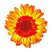 Yellow-Red Gerbera Flower Isolated - stock photo