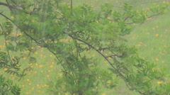 a strong torrential rain, a young Rowan tree - stock footage
