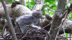 Little blue heron chicks in a nest Stock Footage