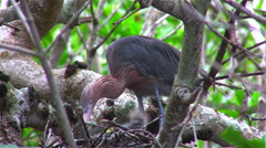 A little blue heron tends to a nest of chicks Stock Footage
