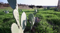 Stock Video Footage of field of cactus from species Opuntia cactus indica, slider shot